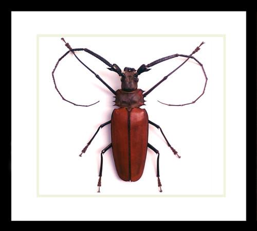 Bugs beetles insects Callipogon armillatus Bits & Bugs