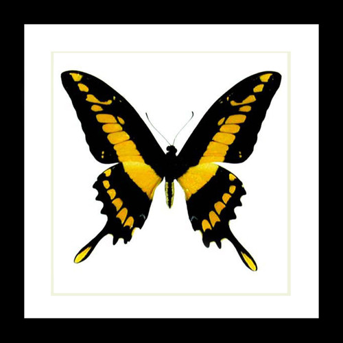 Yellow butterfly specimen Papilio thoas framed Bits & Bugs