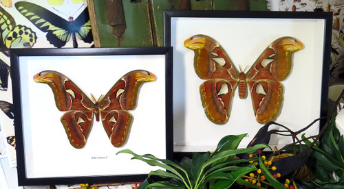 Attacus atlas male and female