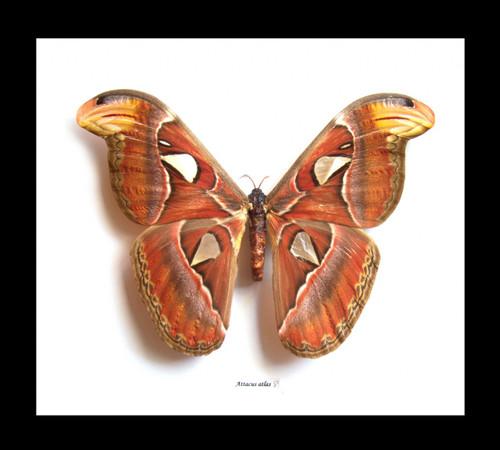 Attacus atlas  Bits & Bugs