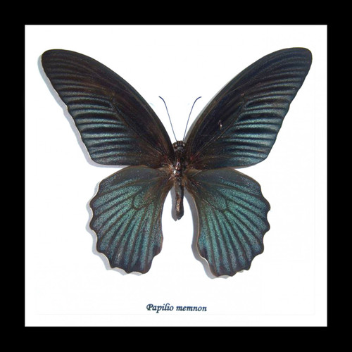 Australian butterfly in shadowbox frame Bits & Bugs Papilio memnon