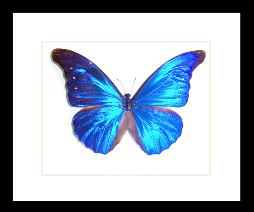 Butterfly framed Morpho rhetenor cacica Bits and Bugs