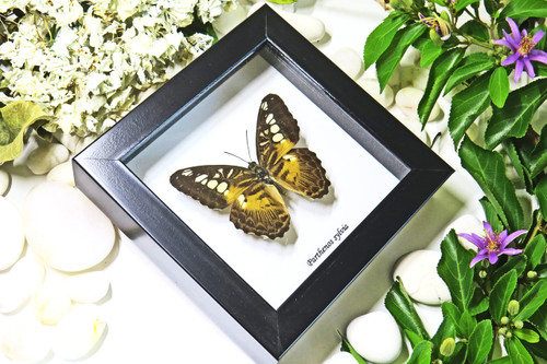 taxidermy butterfy insect gold coast australia Parthenos sylvia Bits & Bugs