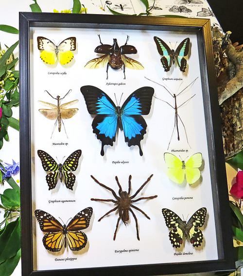 Australian butterflies and bugs