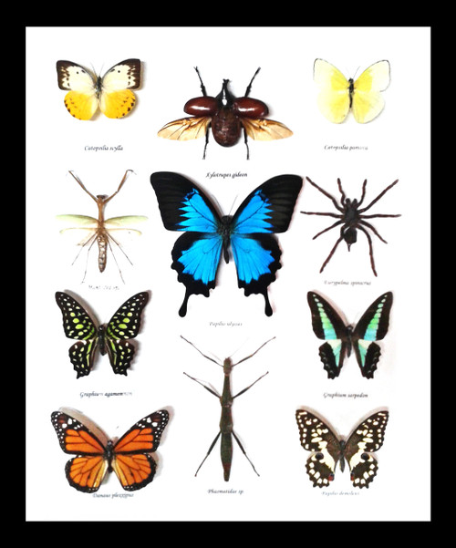 Australian butterflies and bugs