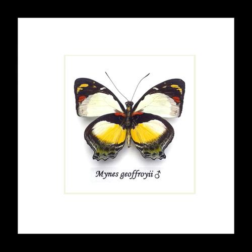 Mynes geoffroyi Bits&Bugs
