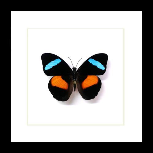Framed butterflies Nessaea obrinus Bits & Bugs