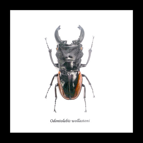 stag beetle insect Bits & Bugs Odontolabis wollastoni