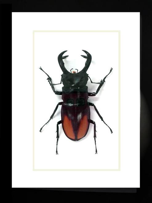 Stag beetle bug insect Hexarthrius parryi paradoxus Bits & Bugs