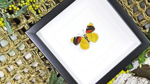 Framed butterfly Perisama oppelii Bits & Bugs