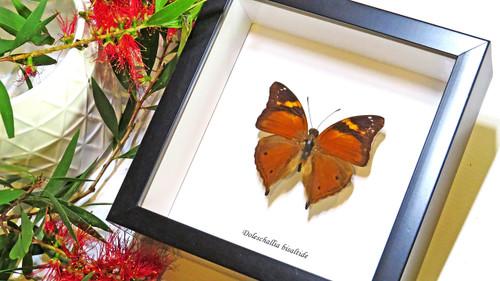 Framed butterflies Doleschallia bisaltide bits & bugs