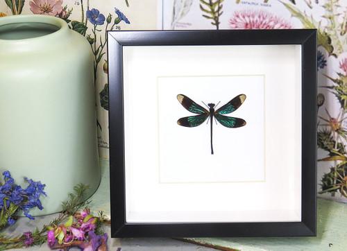 dragonfly for sale framed home decor interior design Bits & Bugs Calopteryx virgo dragonfly