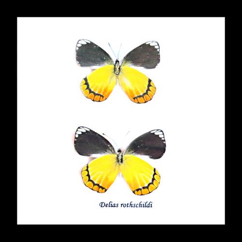 Butterfly real framed taxidermy specimen Delias rothschildi