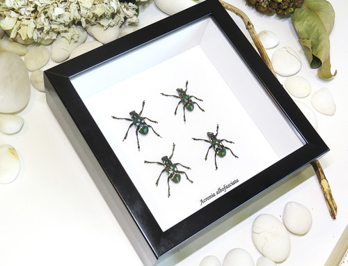 insect display for sale Australia Gold Coast Brisbane Bits and Bugs