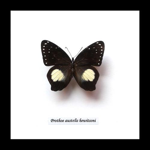 Prothoe australis hewitsoni