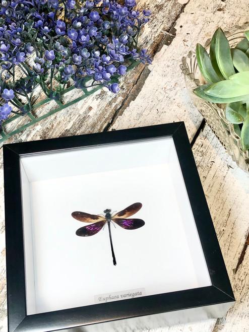 Euphaea variegata purple