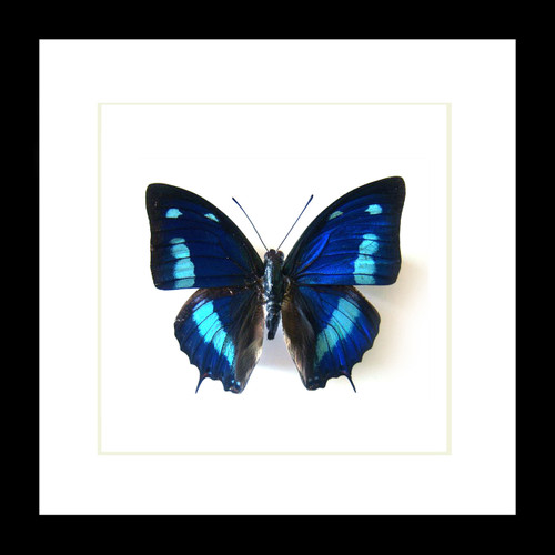 butterfly collection for sale Australia Blue butterfly Anaea cyanea Bits & Bugs