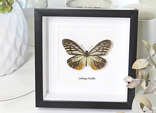 Butterfly collection Calinaga buddha  Bits & Bugs