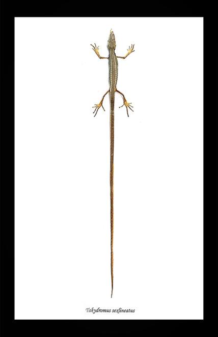 Takydromus sexlineatus Lizard Bits & Bugs