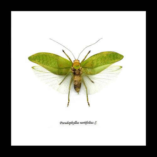 Pseudophyllus neriifolius Bits & Bugs