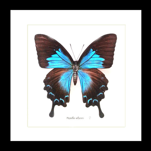 Australian butterfly Papilio ulysses female Bits & Bugs