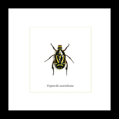 Australian beetle Eupoecila australasiae Bits & Bugs