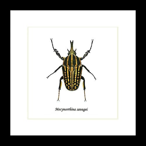 Beetle Mecynorrhina savagei Bits & Bugs