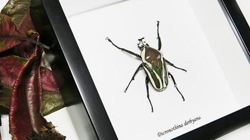 Bugs Beetles Dicronothina derbyana Bits & Bugs