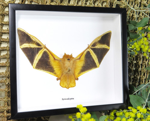 Bat real framed bat Bits & Bugs Kerivoula picta