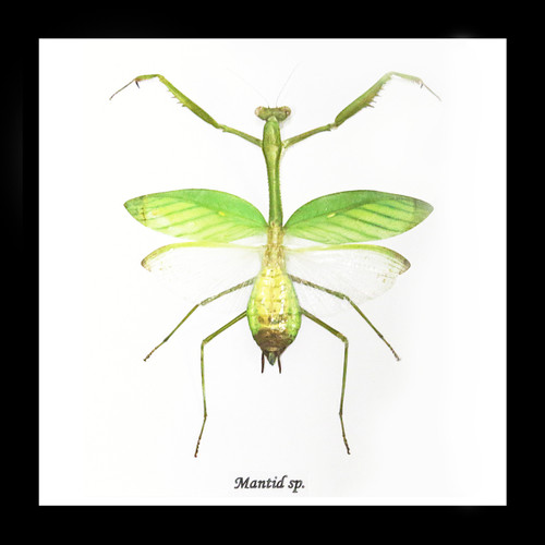 Mantid insect Bits & Bugs