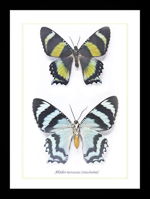 Australian moth Alcides metaurus Bits & Bugs