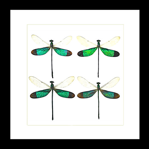 Real dragonfly in frame Neurobasis chinensis Bits and Bugs