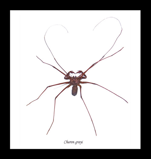 Cave spider Charon grayi Bits & Bugs