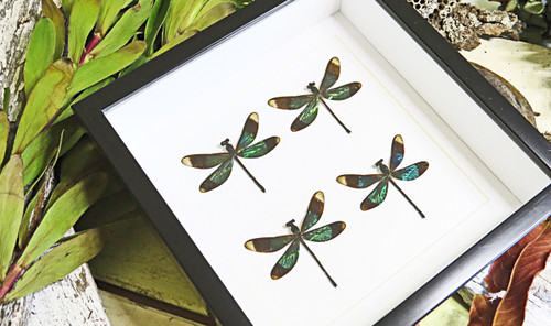 Real dragonfly in frame calopteryx virgo Bits and Bugs