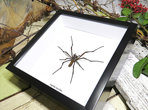Spiders archnids insects Nephlia maculata Bits & Bugs