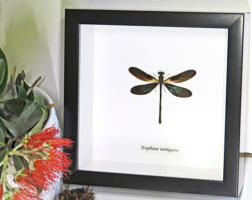 Dragonfly mounted insect Bits & Bugs