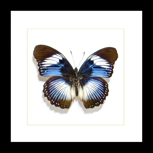 butterfly frame displayAfrican butterfly Hypolimnas monteironis Bits and Bugs