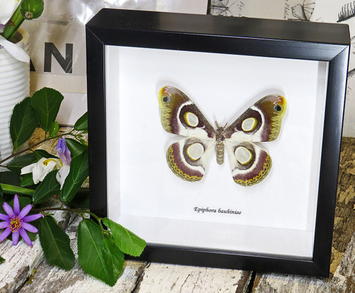 moth butterfly taxidermy insect entomology saturnid