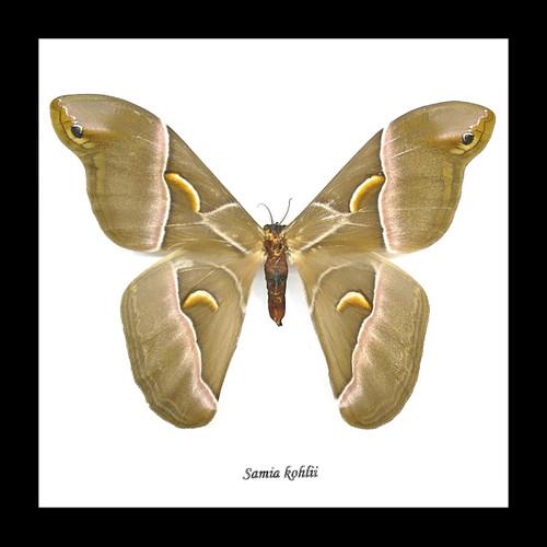 Framed moth Samia kohlii Bits and Bugs