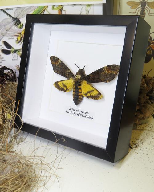Acherontia atropos moth ( Deaths Head Moth