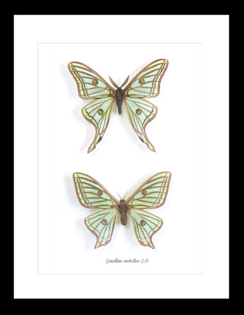 moths saturnids insects for sale Australia