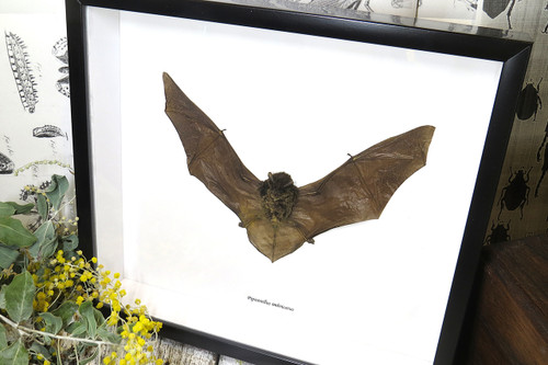 Pipistrellus imbricatus
