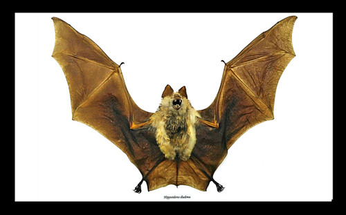 Hipposideros diadema framed bat