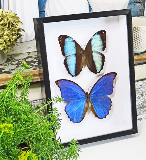 butterfly morpho insect taxidermy entomology design