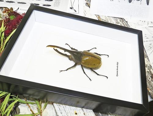 rhinoceros beetle bug African beetle Dynastes hercules Bitsandbugs