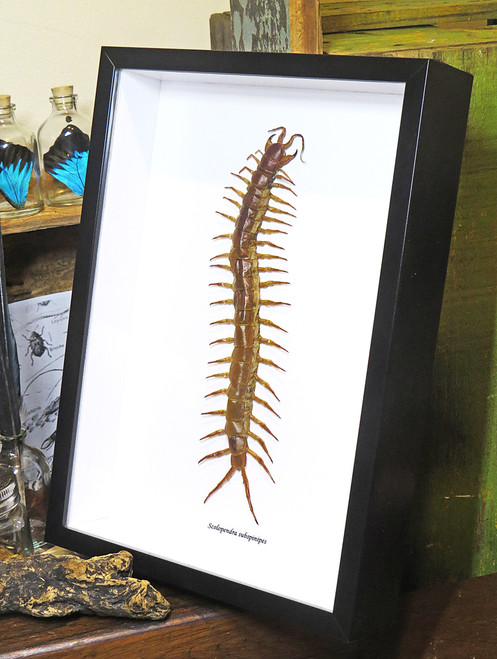 Centipede insect real Scolopendra subspinipes Bits & Bugs