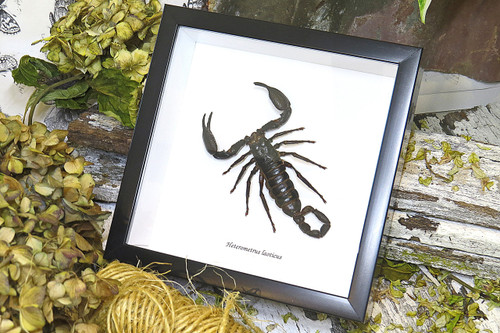 Scorpion for sale Bits and Bugs