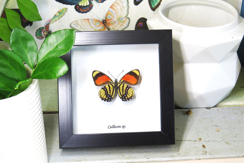 Butterfly framed Callicore species Bits & Bugs taxidermy butterfy insect gold coast australia