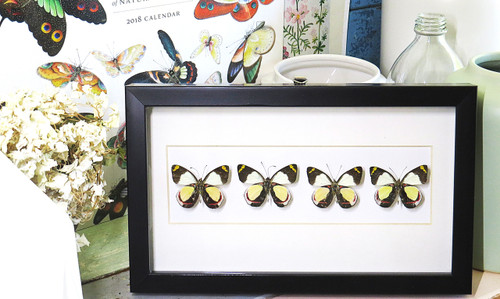 butterfly display for sale Brisbane Australia Delias dixeyi Bits & Bugs
