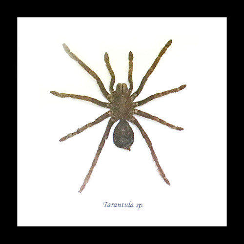 spider for sale in shadowbox frame Bits & Bugs